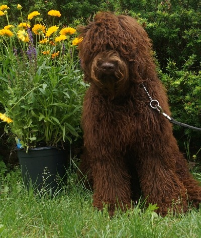 Australian Labradoodle Puppies For Sale Arabian Horse Breeders